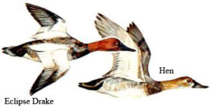 Canvasback   Waterfowl Duck Hunt North Carolina Outer Banks Hatteras, NC