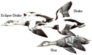 Eiders   Waterfowl Duck Hunt North Carolina Outer Banks Hatteras, NC
